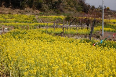 瀬戸内は菜の花も咲いてすっかり春の様子