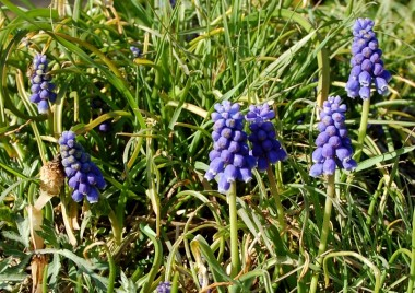 ヨモギやツクシの中に咲いたムスカリ
