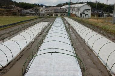 保温と乾燥防止のためにラブシート(不織布)を掛けてトンネルのアーチをたてる
