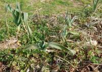 春先に葉を鹿に食べられる