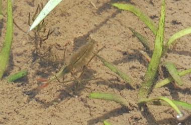 約2センチ位のカブトエビがかなりの数泳いでいます