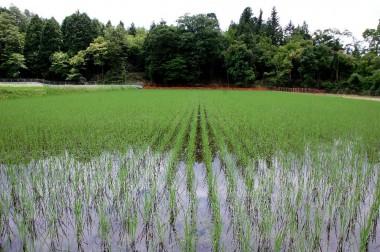 化学肥料を全く使っていないので一般の稲よりは育ちがユックリです