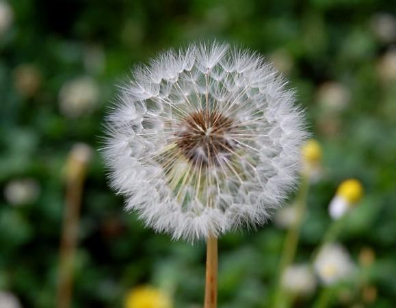 タンポポ(花は黄色でした)