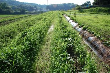 雑草に埋もれた芋ヅル