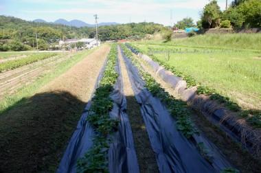 ツルを挟むように防草シートを両側から引き寄せて止める、右の畝はビニールマルチ