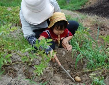 近所の親子がジャガ芋掘りに挑戦
