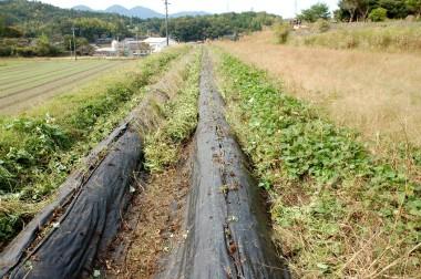 左と中の畝は防草シート 右畝は芋づるの刈取り前