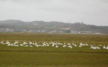 日本海側のR7号からR107号を内陸の横手方面に進んで見かけた白鳥