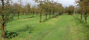 収穫の終わったりんごの木