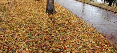 桜の葉も枝から地面に