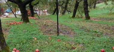 収穫しないりんごは樹の下へ