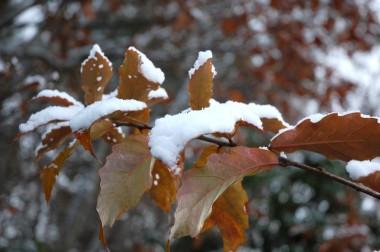 色付いた葉に雪が乗る