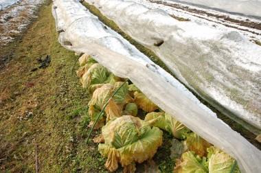 この白菜を収穫します