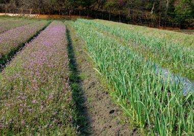 ニンニクの隣りにはホトケノザ(雑草)が一面に咲いている