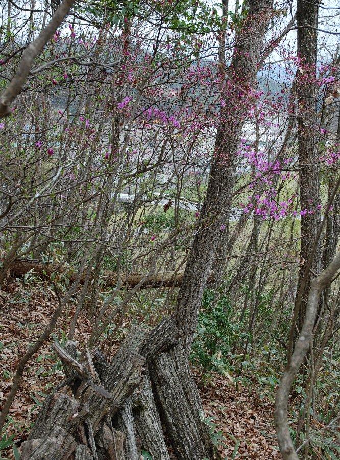 シイタケを採りに行ったら咲き始めた裏山のツツジ