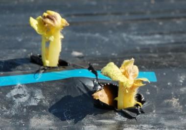 マルチを手で破ってジャガイモの芽を出した