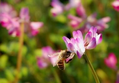 写していたらミツバチが来た