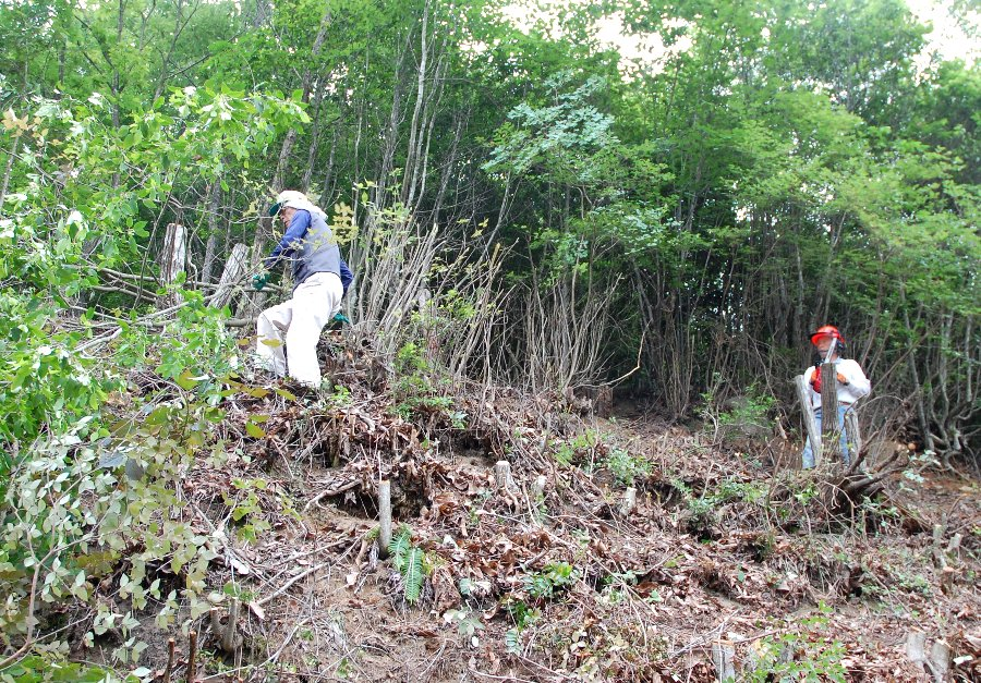伐った樹を邪魔にならないように直ぐに片付ける松さん、周辺の安全を確認してから伐る吉さん
