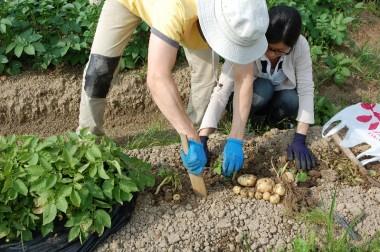 ジャガイモ簡単栽培の結果