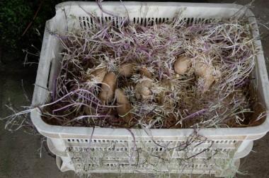 根と芽が絡み合ってコンテナから出しにくい