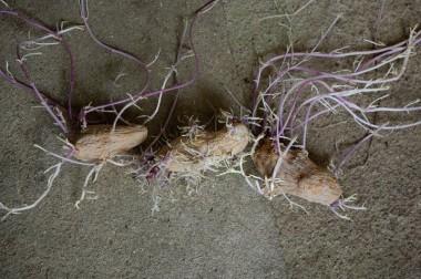 芽は40cm伸びているものもある