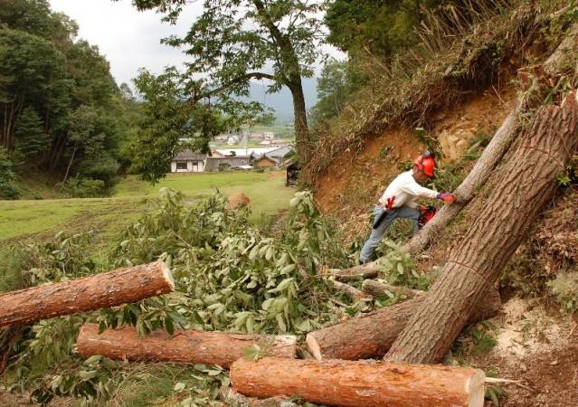 大な樹ばかり伐ったので後の処理が大変だった