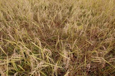 イボ草の大群落、稲はほとんど無い