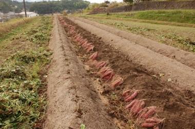 残りの1畝は明日収穫