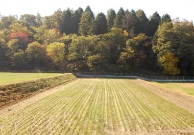 稲刈り跡に出た二番芽