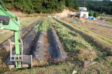 芋ヅルを取ると畝が現れる、ツルは小さく刻んで畑に戻します