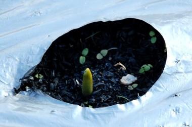 銀黒のビニールマルチと籾殻くん炭
