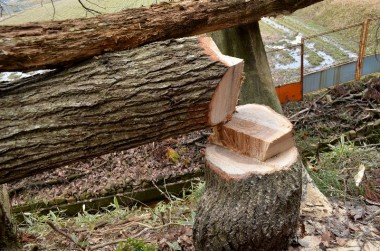 伐り口の様子、左が受け口側