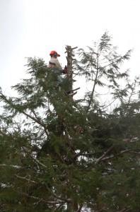 12m登って樹を低くします