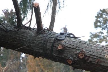ワイヤーロープを枝にかけてから巻きつけ、チルホールで引いて樹を回転させる