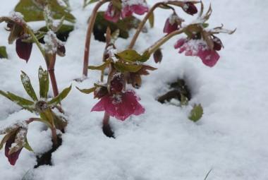 草の中のクリスマスローズが雪でよく見えるようになった