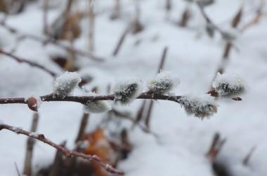 ネコヤナギは雪をかぶってもユキヤナギにはならない