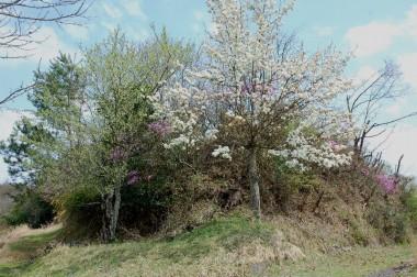 大きなのが梨、左の花がよく見えないのがスモモ