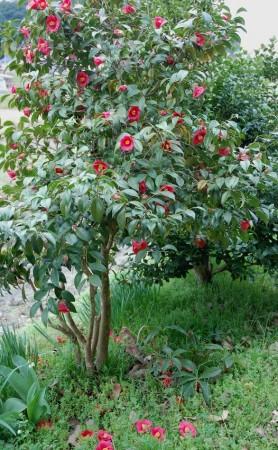 今年は花数が多い庭の椿、今年も口数が多いVFK