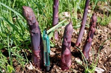 勉強会には関係ないけど畑の巨大紫アスパラ