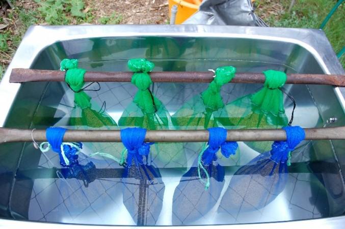 毎日水を入れ替え、品種によって袋の色を変えます