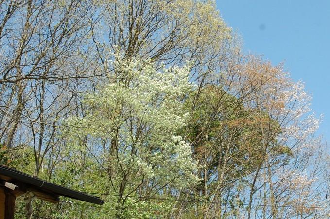 車庫の上の山桜と白い花が今年も咲きました