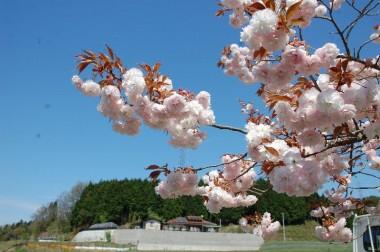 田んぼ近くの八重桜