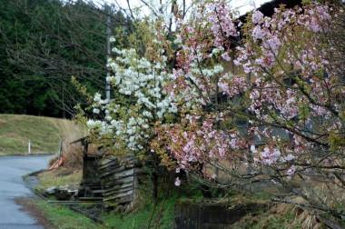 桜と梨とその周辺に私なりの田舎らしさを観ました