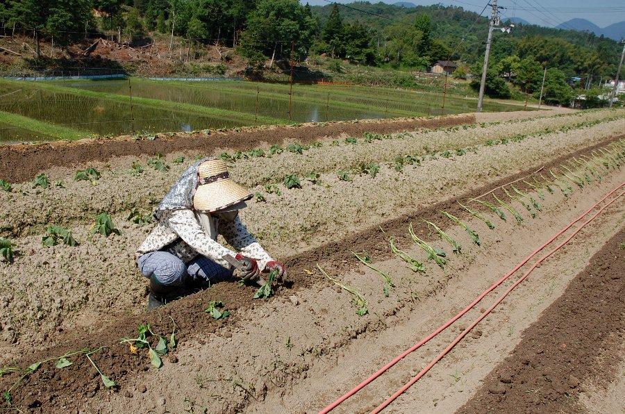 植え付けの様子、畝の上に浅い溝を切って動噴で水をたっぷりと入れ、竹の棒に植え付け間隔を印して苗を配っておき一気に植付けた