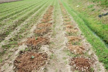左は芽出ししたのを植えた、右は種(芋)を植えてある