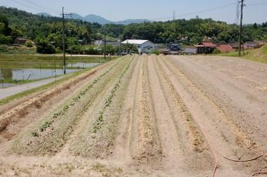 左の緑っぽい2畝は15日に植付た、籾殻は蒔いていない