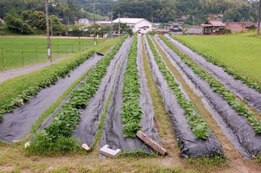 さつま芋は5月15日~27日に植付、新芽が出て苗が活着してからマルチがけ、高く土を盛り上げた畝を作っただけで肥料は全く無し  晩秋から冬になるとそれはそれは美味しい焼き芋になりますね