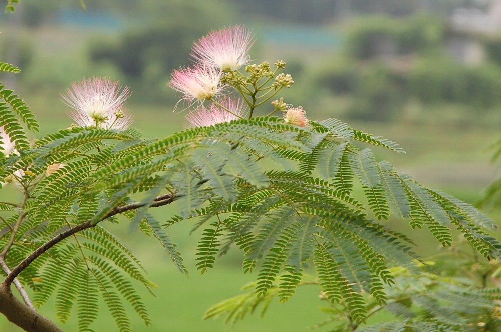 自分の中ではとても季節を感じる花の一つです  「ねむの花が終わったら暑い夏」ですね