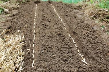 種は鞘に入ったまま溝に並べて土をかけた