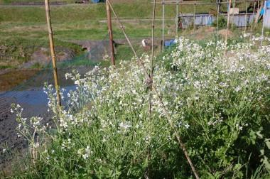 この大根の花が種になった(4月27日の様子)